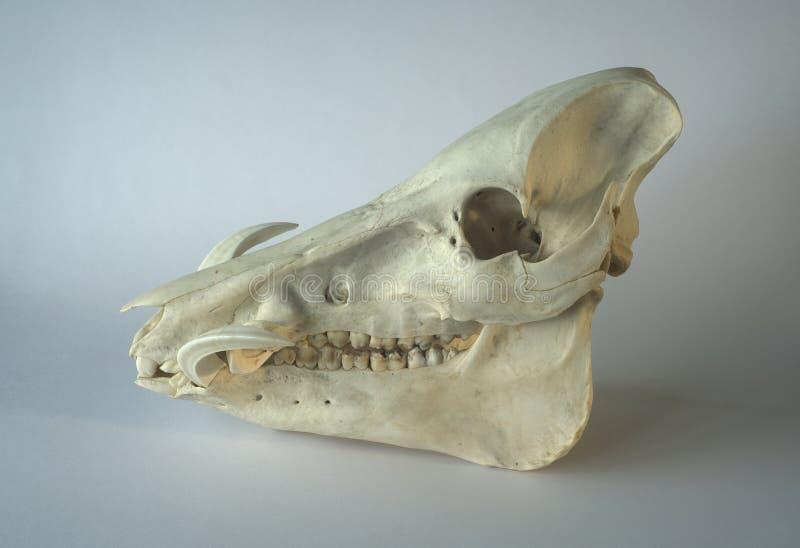 野公猪或疣肉猪非洲野猪属africanus头骨 图库摄影