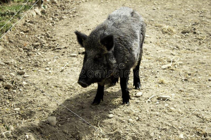 野公猪森林 免版税图库摄影