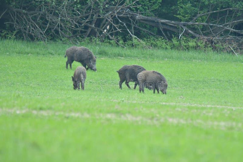 野公猪母亲用一起吃小公猪的小猪 图库摄影