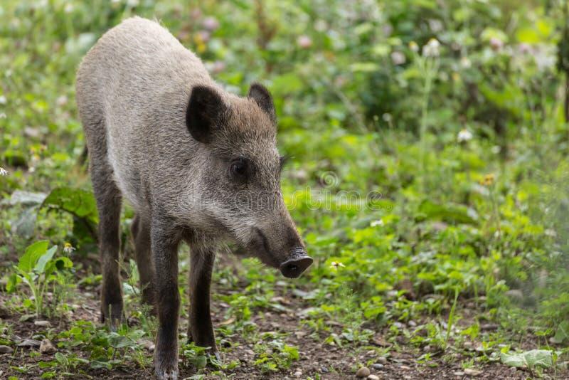 年轻野公猪狩猎 库存图片
