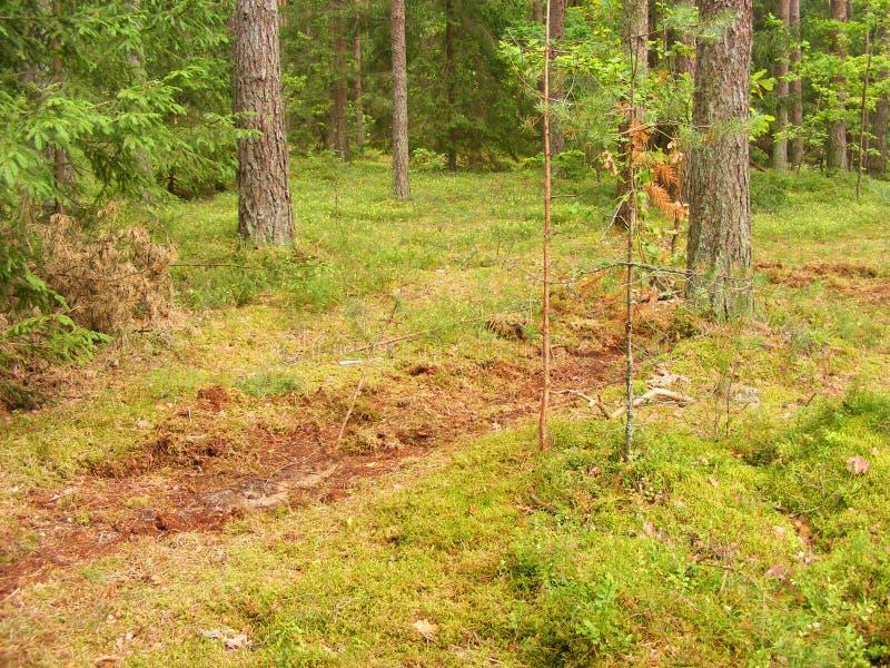 野公猪踪影在橡子的杉木森林里开掘与青苔的土壤 免版税库存照片