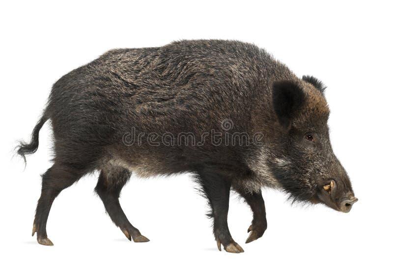 野公猪,也野生猪, SU scrofa 库存图片