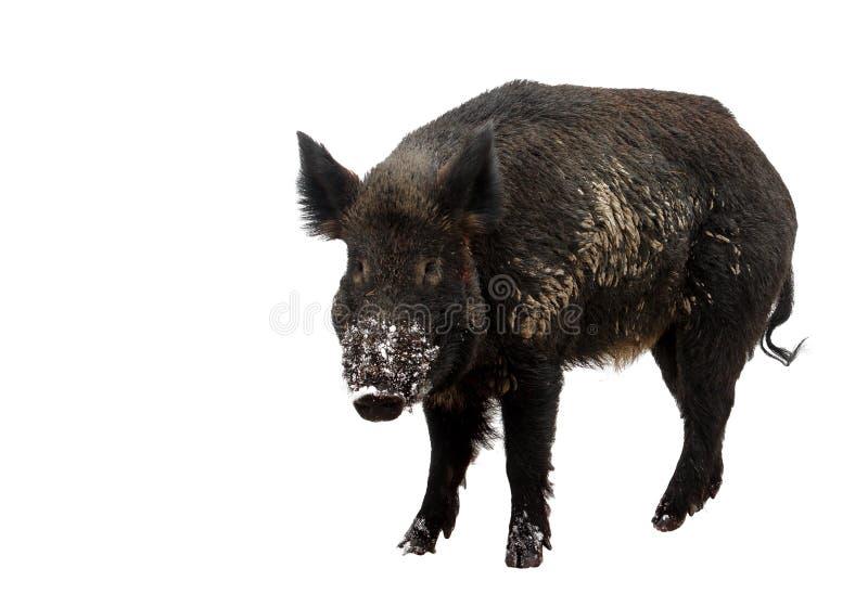 Download 野公猪 库存图片. 图片 包括有 browne, 通配, 水平, 敌意, 背包, 脊椎动物, 哺乳动物, 野生生物 - 30338579