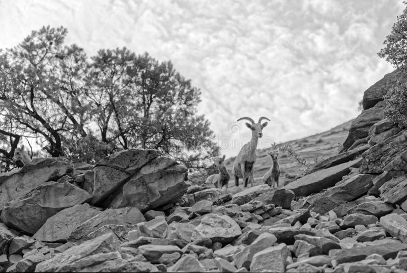 野山羊在锡安国家公园在犹他 库存图片