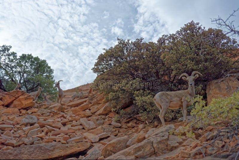 野山羊在锡安国家公园 图库摄影