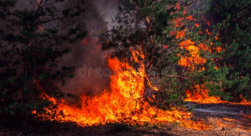野火,灼烧的杉木森林 库存图片