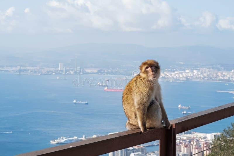 野猕猴或直布罗陀猴的特写 免版税库存照片