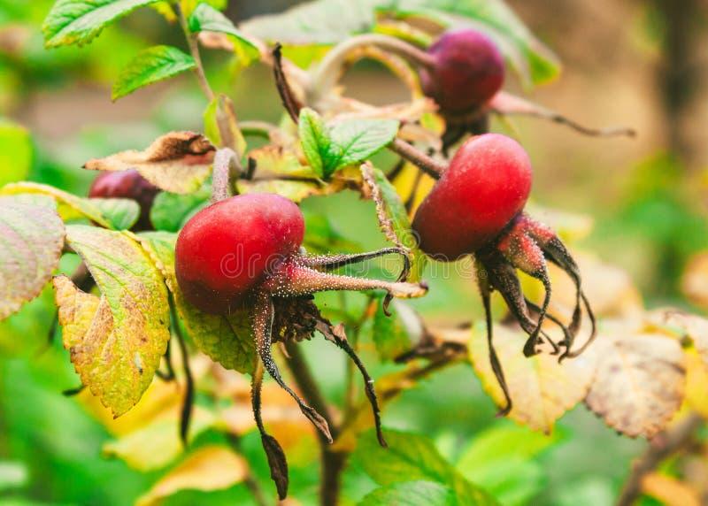 野玫瑰果在秋天公园 免版税图库摄影