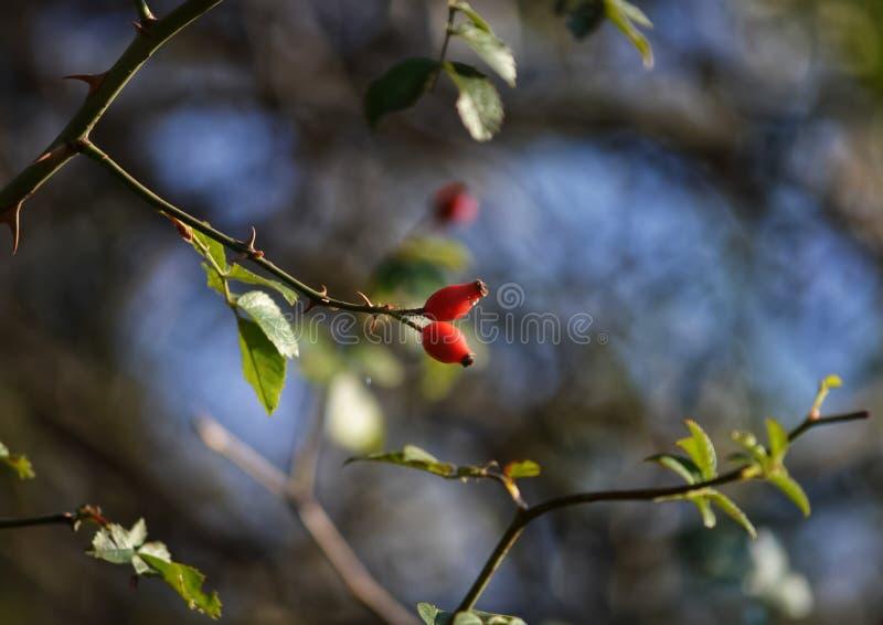 野玫瑰果在秋天 库存照片