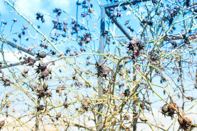 野玫瑰果干燥野生编织的玫瑰在秋天 免版税库存照片