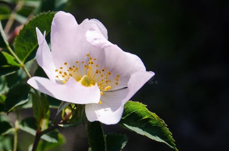野玫瑰果桃红色石南木,玫瑰狗,红色野蔷薇,溃疡玫瑰, eglantine,罗莎majalis开花和生长在灌木的叶子本质上 免版税图库摄影