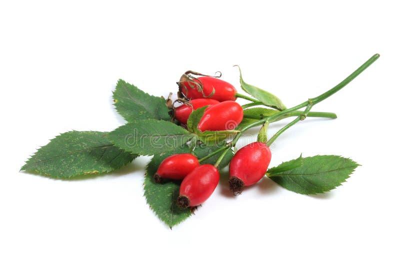 野玫瑰果 库存图片