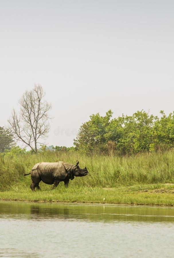 野生一有角的犀牛在Bardia国家公园,尼泊尔 免版税库存图片