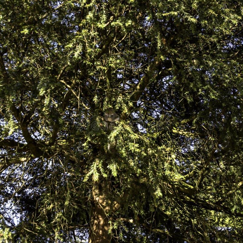野生东部灰色灰鼠在冬天掩藏在分支的-泵房/杰夫森庭院,皇家Leamington温泉 免版税库存照片