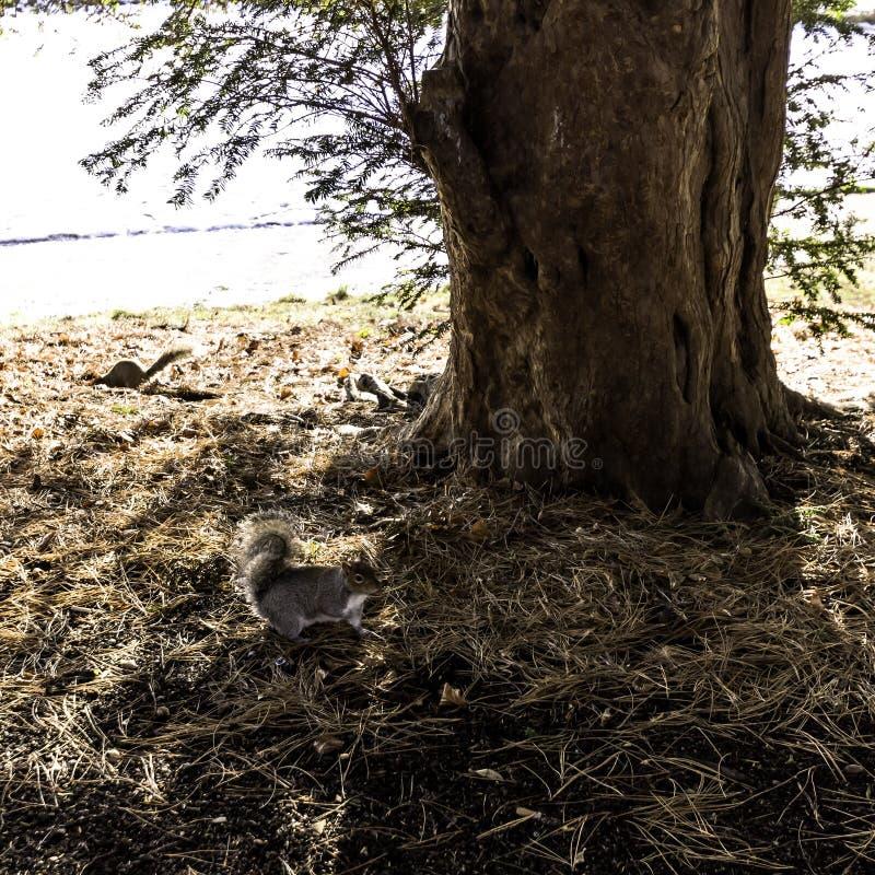 野生东部灰色灰鼠在冬天-泵房/杰夫森庭院,皇家Leamington温泉 免版税库存图片