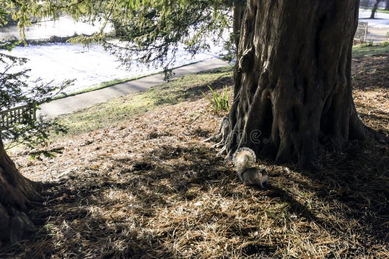 野生东部灰色灰鼠在冬天-泵房/杰夫森庭院,皇家Leamington温泉 免版税库存照片