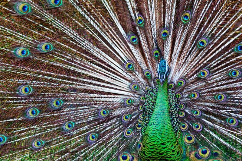 野生公孔雀画象与被扇动的五颜六色的火车的 有蓝色和金呈虹彩羽毛的绿色亚洲孔雀显示尾巴 免版税库存照片