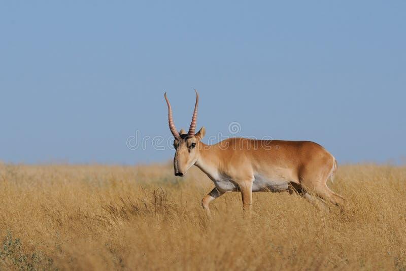 野生公Saiga羚羊在卡尔梅克共和国干草原 免版税库存图片