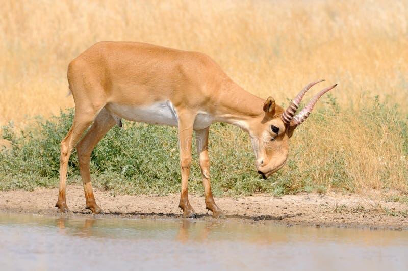 野生公Saiga羚羊近浇灌在干草原 免版税库存图片