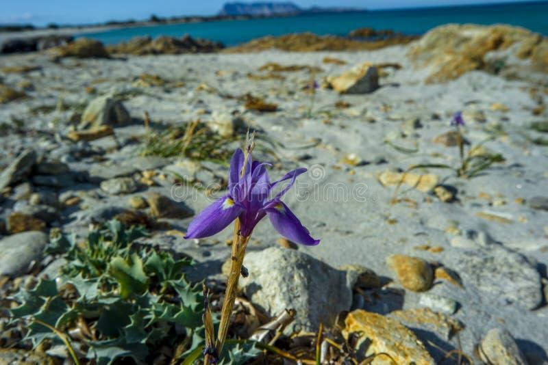 野生兰花紫罗兰色沙子, Isuledda海滩, Tavolara,圣特奥多罗,撒丁岛,意大利 免版税库存照片