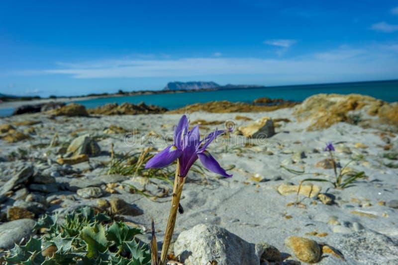 野生兰花紫罗兰, Isuledda海滩, Tavolara,圣特奥多罗,撒丁岛,意大利 免版税库存照片