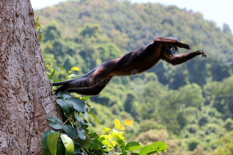 野生动物、跳跃在树梢的叶子猴子或者暗淡的叶猴 库存照片