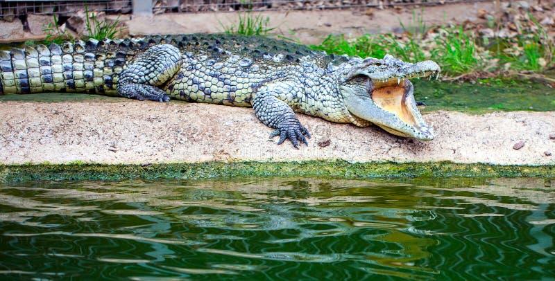 野生动物Crockodile鳄鱼在动物园里 库存照片