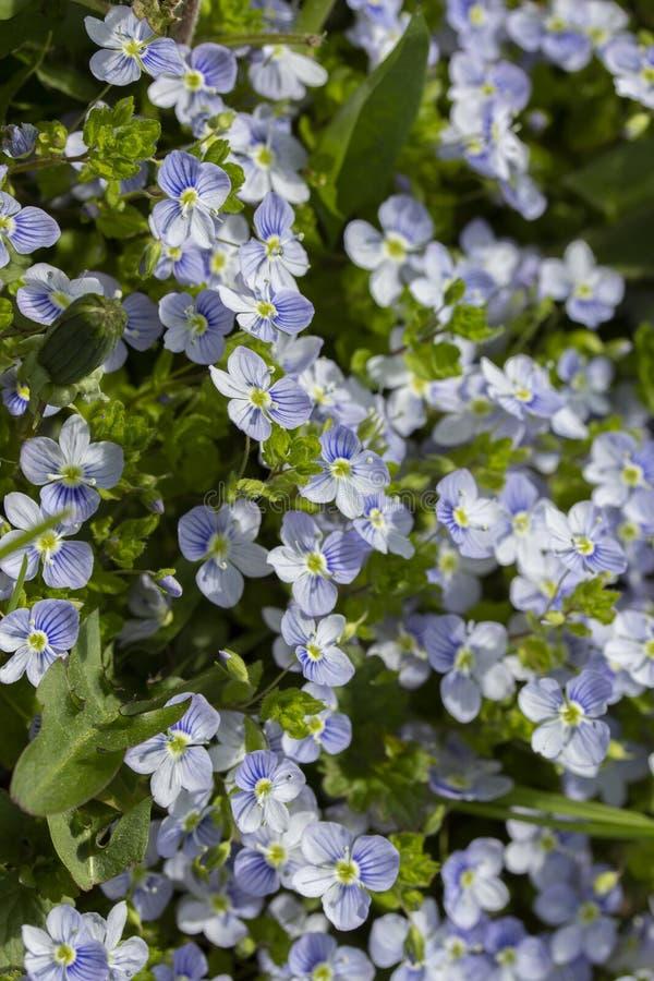 野生勿忘草小蓝色花本质上 垂直的照片背景墙纸 蓝色美丽的胡乱地小的花  免版税库存图片