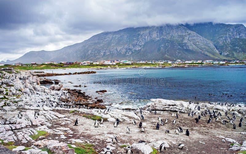 野生南非企鹅 免版税库存照片
