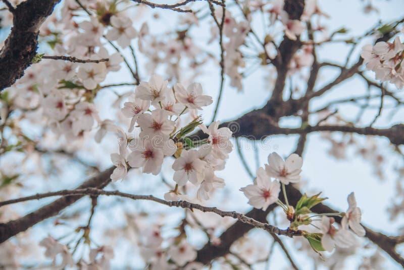野生喜马拉雅樱桃,李属cerasoides,酸樱桃, Cerasus铈 库存照片
