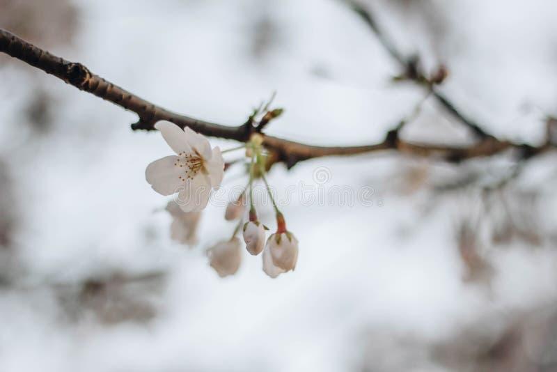 野生喜马拉雅樱桃,李属cerasoides,酸樱桃, Cerasus铈 免版税库存图片