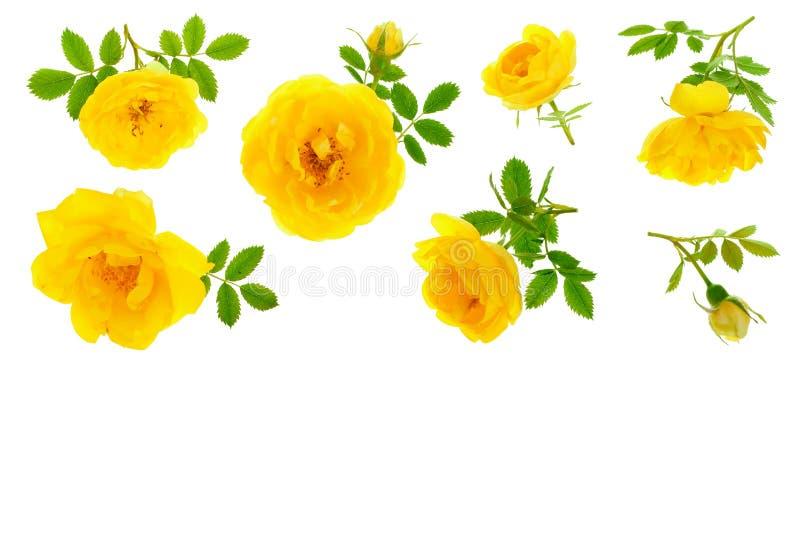 野生在与拷贝空间的白色背景隔绝的黄色玫瑰开花的花您的文本的 顶视图 平的位置 免版税图库摄影