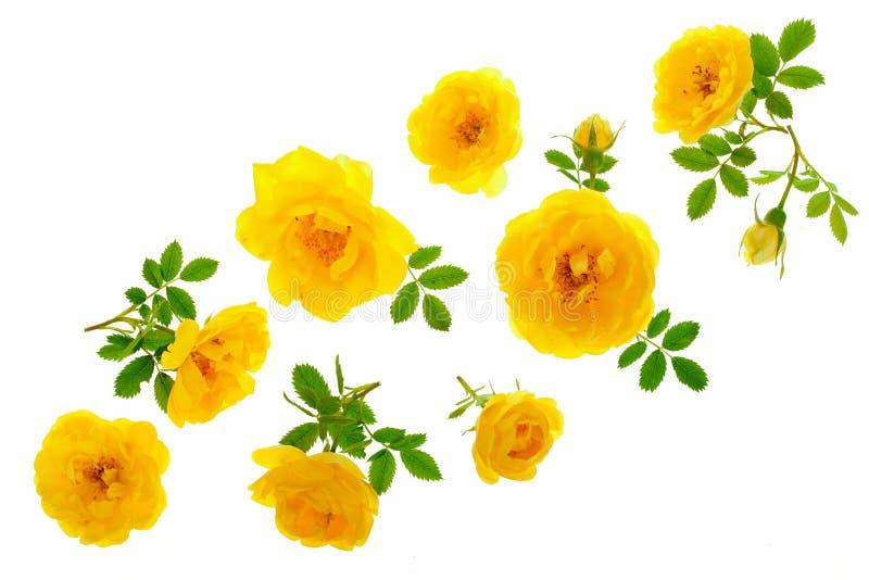 野生在与拷贝空间的白色背景隔绝的黄色玫瑰开花的花您的文本的 顶视图 平的位置 免版税库存图片
