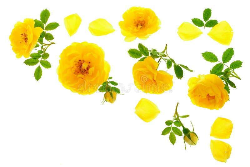 野生在与拷贝空间的白色背景隔绝的黄色玫瑰开花的花您的文本的 顶视图 平的位置 库存照片