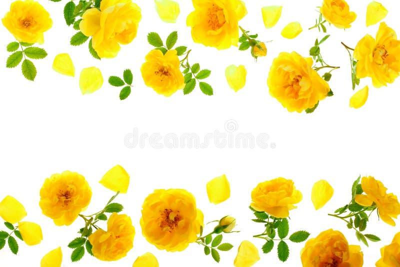 野生在与拷贝空间的白色背景隔绝的黄色玫瑰开花的花您的文本的 顶视图 平的位置 免版税库存照片
