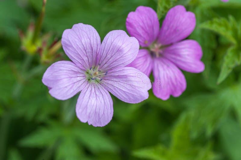野生大竺葵maculatum关闭紫色花  免版税库存照片