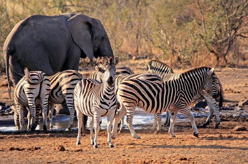 在waterhole附近的非洲大象和斑马 库存照片