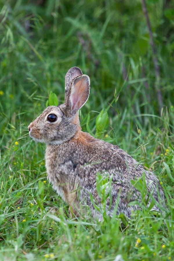 野生小兔 免版税库存图片
