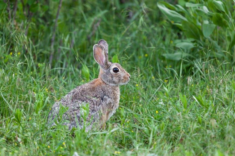 野生小兔 库存图片