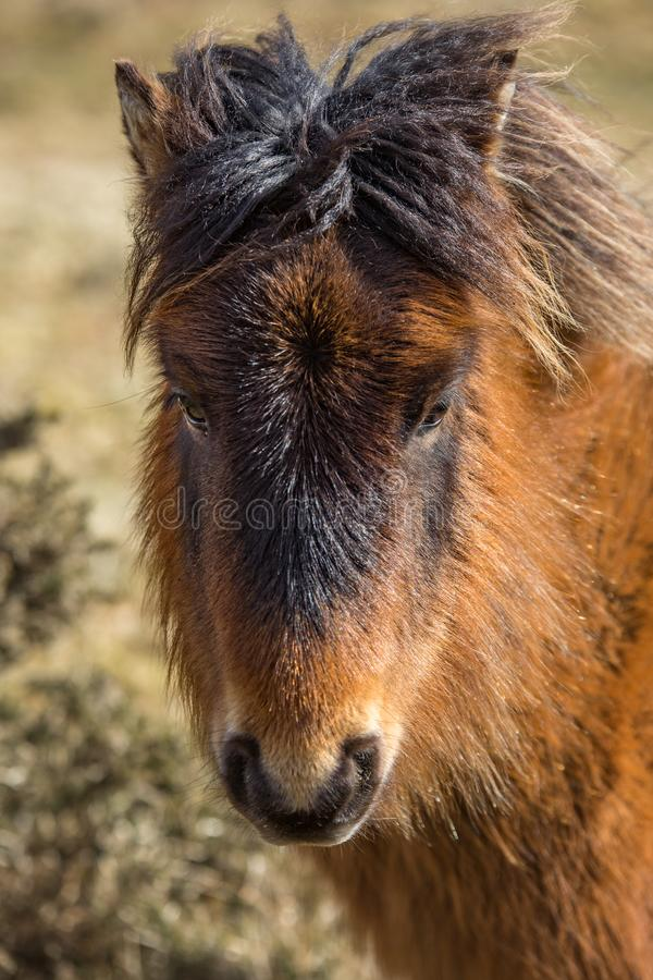 野生小马在博德明的阳光下停泊,康沃尔郡 免版税库存图片