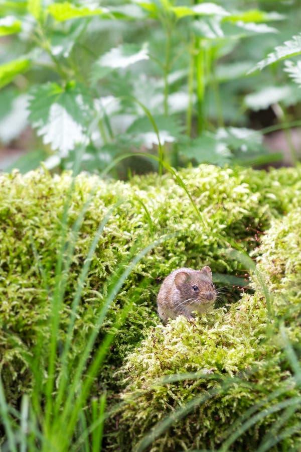 野生布朗木老鼠坐青苔在森林里,特写镜头 库存图片