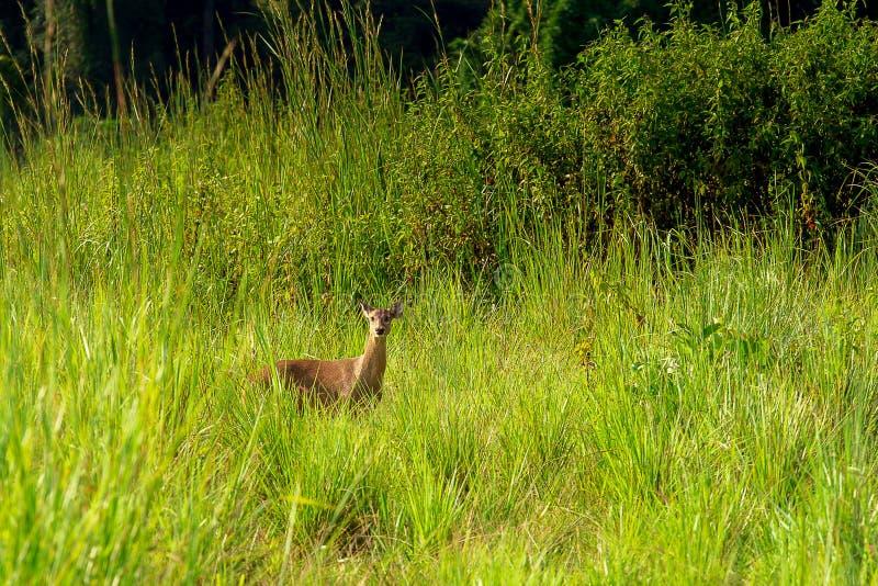 野生幼小小鹿& x28;狍属capreolus& x29;在日落期间的美好的春天自然 免版税库存照片