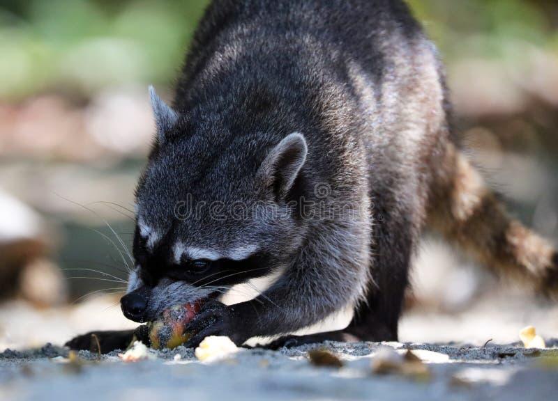 野生恼怒的浣熊在哥斯达黎加等待的食物密林  免版税库存照片
