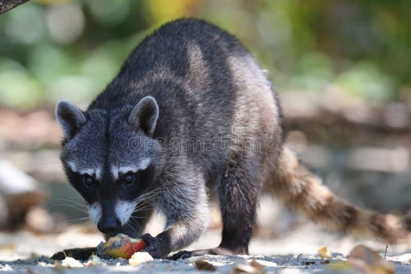 野生恼怒的浣熊在哥斯达黎加等待的食物密林  库存图片