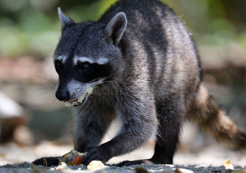 野生恼怒的浣熊在哥斯达黎加等待的食物密林  免版税库存图片