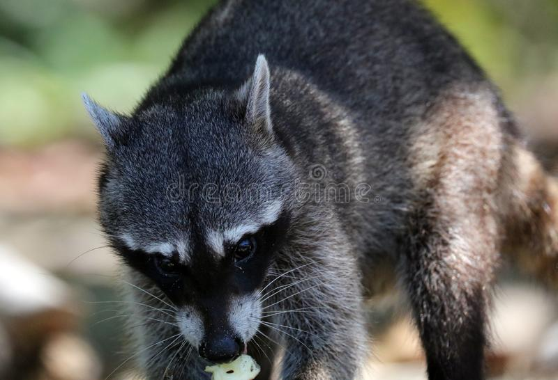 野生恼怒的浣熊在哥斯达黎加等待的食物密林  免版税图库摄影