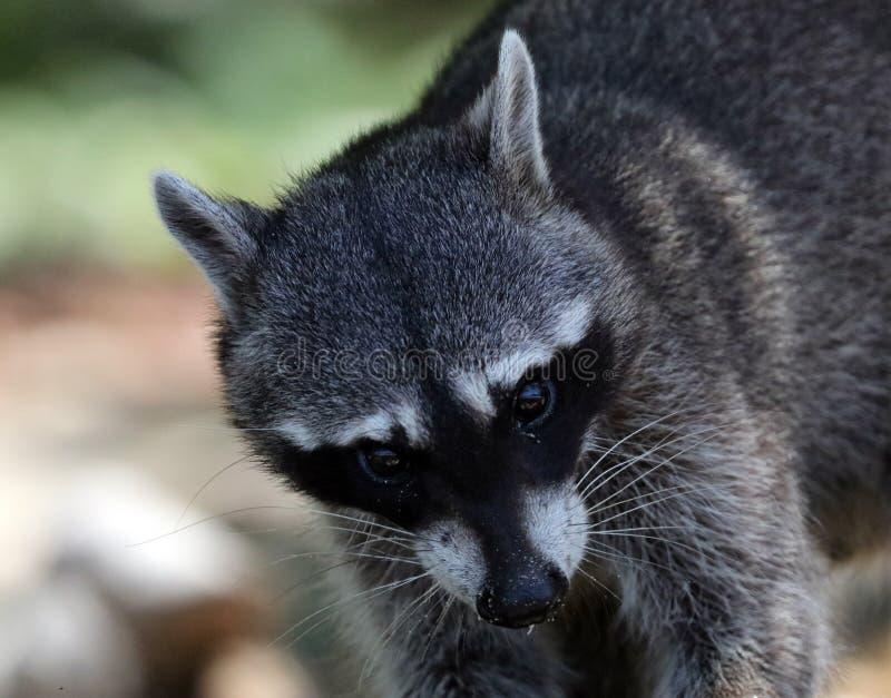 野生恼怒的浣熊在哥斯达黎加等待的食物密林  图库摄影