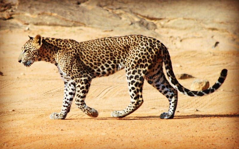 野生斯里兰卡的豹子在Yala国家公园 免版税库存照片