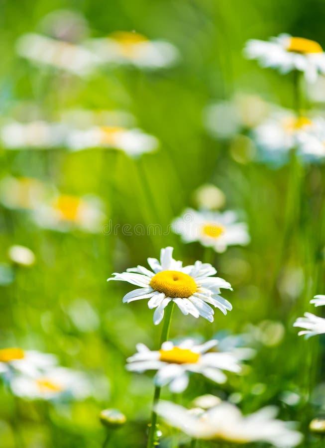 野生春黄菊