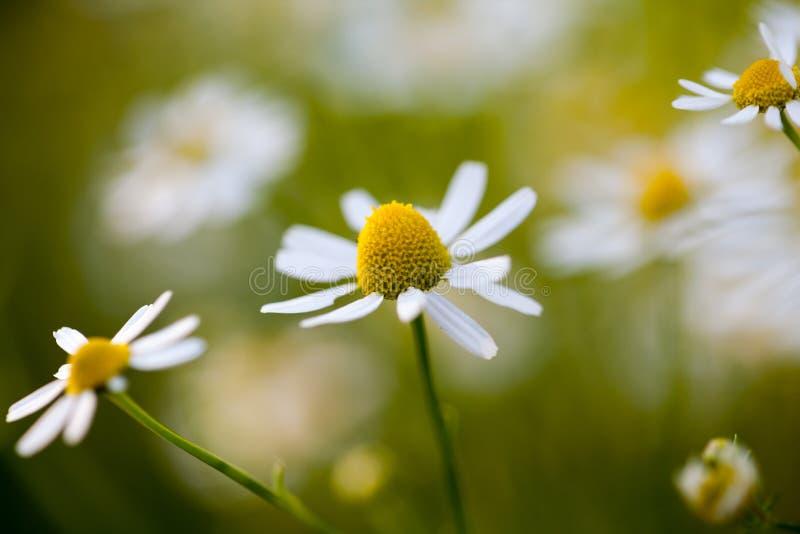 野生春黄菊-母菊属chamomilla -在领域 图库摄影